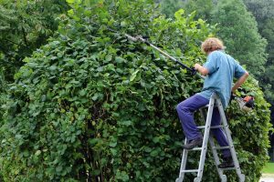 A man trimming a large bush
